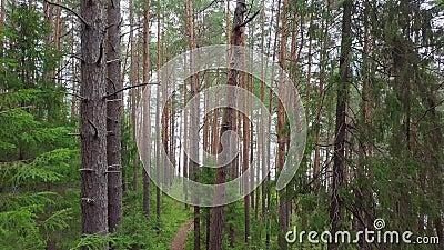 Vista aérea de la Selva Pina de Coníferas Evergreen almacen de video