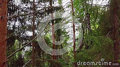 Vista aérea de la Selva Pina de Coníferas Evergreen metrajes