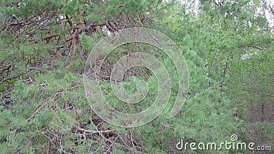Vista aérea de la Selva Pina de Coníferas Evergreen almacen de metraje de vídeo
