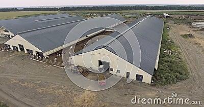 Vista aérea do caminhão de alimentação aproxima-se da picada com vacas video estoque