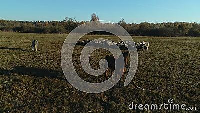 Vista aérea do efetivo ovino e equino a pastorear no campo de exploração vídeos de arquivo