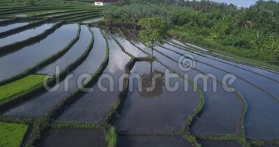Vista aérea dos campos de arroz no dia ensolarado video estoque