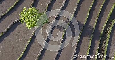 Vista aérea dos campos de arroz no dia ensolarado vídeos de arquivo