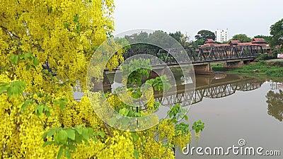 Vista aérea Flores amarelas e a ponte de ferro antiga com o rio Ping em Chiangmai, Tailândia filme