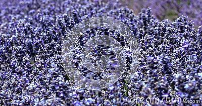 Vista cercana del flor de la lavanda en Provence en Francia metrajes