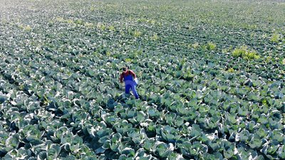 Vista dall'alto di un coltivatore maschio in piedi in un campo da cavolo stock footage