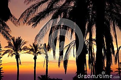 Vista de la palma delante de la puesta del sol