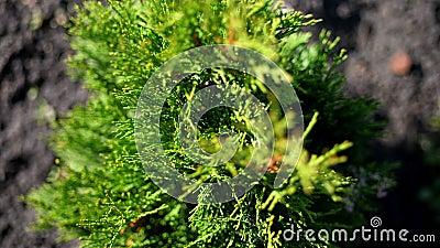Vista de primer plano, thuja se esparce en el viento, bajo el sol jugoso thuja verde vivero ornamental evergreen en crecimiento t almacen de metraje de vídeo