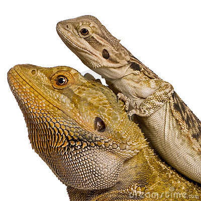 Vista lateral de dois dragões de Lawson