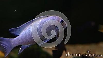 Vista lateral del pez brillante azul Bokeh con borrosidad El pez está nadando en un fondo negro Flora y fauna oceánicas almacen de video