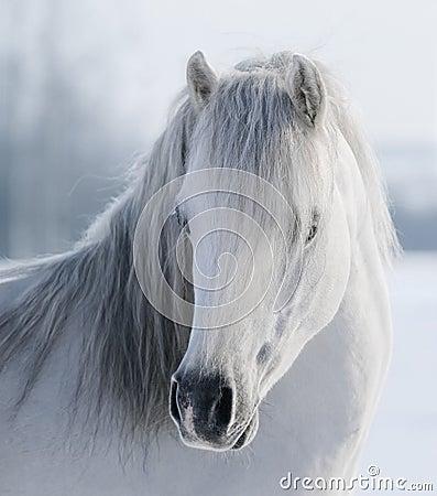 Vit walesisk ponny
