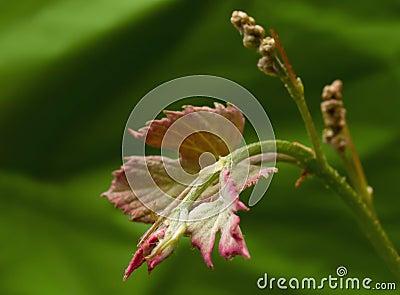 Vitis, flowering grapevine