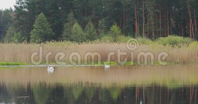 Vitrysslands fauna Vit tyst svan eller cygnus-färg som simmar i floddamm under vårsäsongen stock video