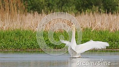 Vitrysslands fauna Vit tyst svan som flaxar hans vingar eller cygnusfärg som simmar i floddammen under vårsäsongen arkivfilmer