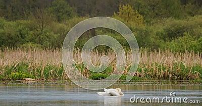 Vitrysslands fauna Vita stutsvanor eller cygnusfärg som simmar i floddammar under vårsäsongen stock video