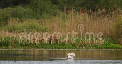 Vitrysslands fauna Vita stutsvanor eller cygnusfärg som simmar i floddammar under vårsäsongen arkivfilmer
