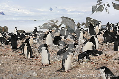 Viveiro do pinguim de Chinstrap na Antártica