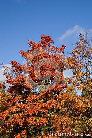 Vivid autumn tree