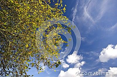 Vivid autumn tree-top against a blue sky