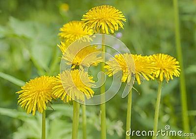 Vivid dandelion flowers