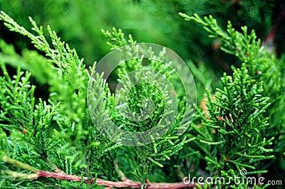Vivid green thuja