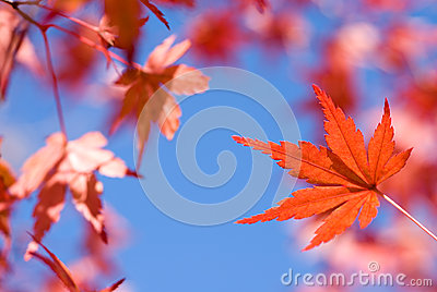 Vivid red autumn maple leaf