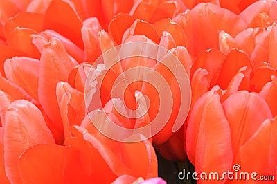 Vivid red pink tulip Turkish lale