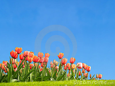Vivid tulips in the spring