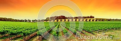 Vivid Vineyard