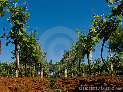Vivid vineyard detail