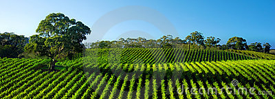 Vivid Vineyard Panorama