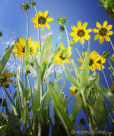 Vivid yellow flowers on blue sky