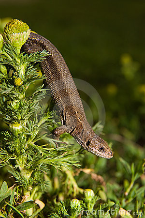 Viviparous lizard, Lacerta vivipara