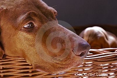 Vizsla Dog In Wicker Basket
