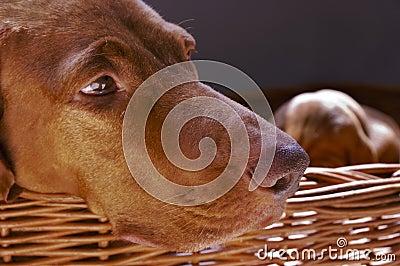 Vizsla Dog In Wicker Basket