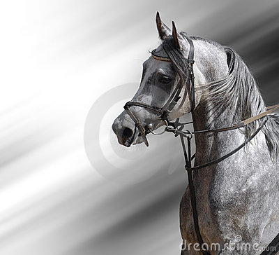 Vlek-grijs (Arabisch) paard