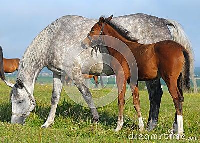 Vlek-grijs merrie en baaiveulen