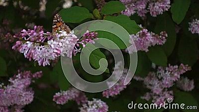 Vlinder op lilakbloem, film stock video