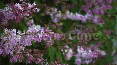 Vlinder op lilakbloem, film stock footage