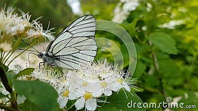 Vlinderaporia Crataegi op haagdoorn witte bloem stock video