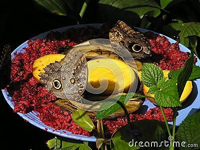 levende vlinder kopen