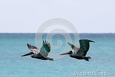 Vôo do pelicano sobre o mar