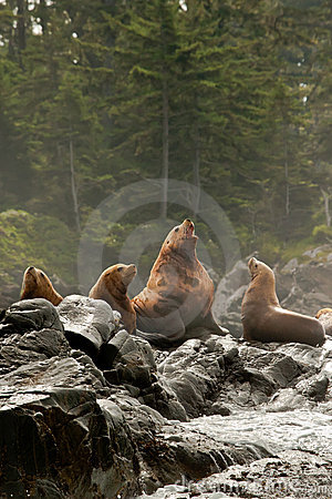 Vocalizing Male Sea Lion