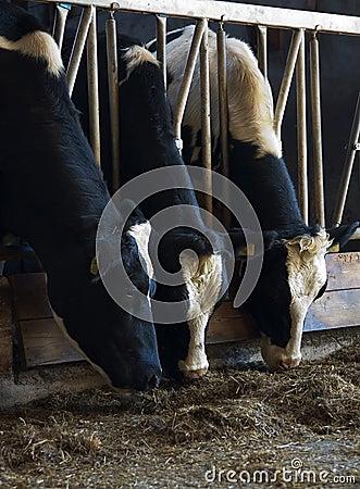 Voedende koeien