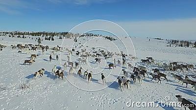 Vogelperspektive der Herde des Rens, die auf Schnee in der Tundra lief stock footage