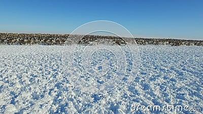 Vogelperspektive der Herde des Rens, die auf Schnee in der Tundra lief stock video