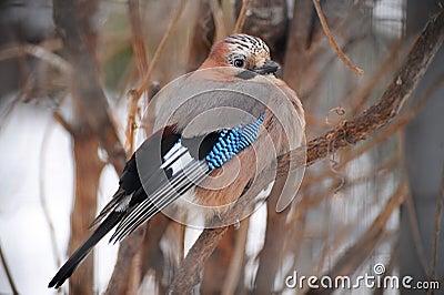 Vogeltje van Sojka