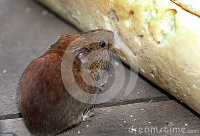 Vole eating bread.