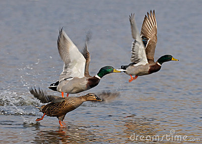 Voler de canards sauvages