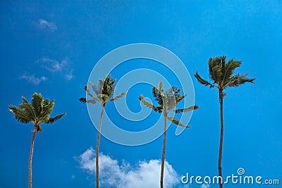 Vollkommene Paradieskokosnuß-Palmen